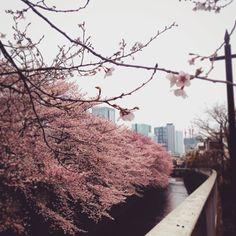 神田川の先には高層ビル     #桜   #西新宿   #神田川   #Tokyo