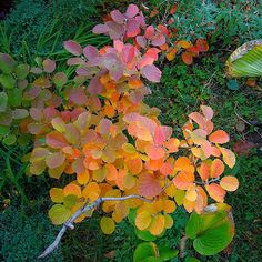 Outsiders Landscape Group: Fothergilla 'Blue Shadow'