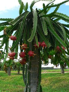 Dragon Fruit tree. we planted about a teaspoon of seeds from a ripe fruit and had about 40 seedlings come up.