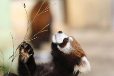 12 Furry Facts About Red Pandas | Mental Floss
