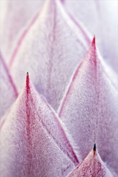 Pink King Protea by Josie Eldred Protea Art, King Protea, Nature Aesthetic, Desert Rose, Macro Photography, Beautiful Flowers, Beautiful Things, Pretty In Pink, Flower Power