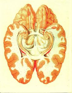 """""""The limbic system (paleomammalian brain) is a complex set of brain structures ...  It includes the OLFACTORY BULBS, HIPPOCAMPUS, AMYGDALA, anterior thalamic nuclei, fornix, columns of fornix, mammillary body, septum pellucidum, habenular commissure, cingulate gyrus, parahippocampal gyrus, limbic cortex, and limbic midbrain areas. [It] supports a variety of functions including adrenaline flow, emotion, behavior, motivation, long-term memory, and olfaction."""""""