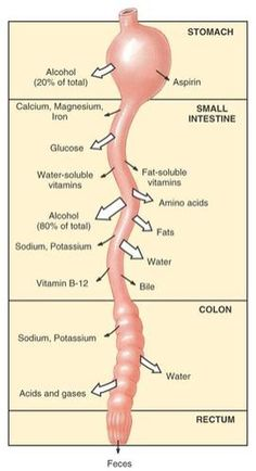 Absorption in the Gastrointestinal tract simplified