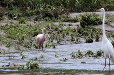 crocodile safari tour roseate spoonbill   - Costa Rica