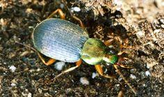 Chlaenius tricolor, a ground beetle that eats slugs.