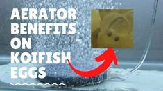 Aerator Benefits in Koi Eggs Koi Fish Pond, Benefit, Eggs, Egg, Egg As Food