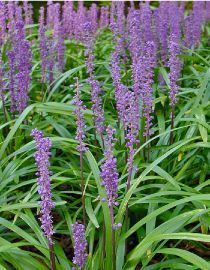 """Liriope muscari """"Royal Purple"""", ground cover, flowers at the end of the summer, hardy variety, semi shade, or under tall trees"""