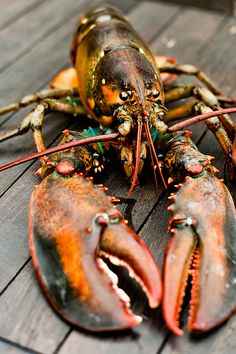 Lobster by Sarka Babicka Photography Lobster Art, Crab And Lobster, Wild Animals Photography, Photography Kids, Photography Portraits, Jaguar Animal, Arctic Animals, Zoo Animals, Nocturnal Animals