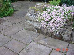 Silene schafta `Shell pink` at Bide-a-wee