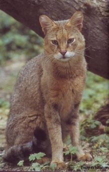 Jungle or Swamp Cat (Felis chaus) are found from the Nile Valley to Southeast Asia - just in the southern tip of western Russia.  -kc