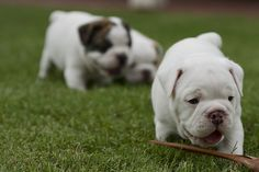 English bulldog Puppy ♥♥♥