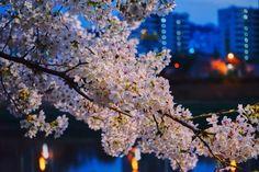 안양천 벚꽃 야경 및 저녁노을과 함께 보고왔어요~!! 안녕하세요 잇님들~ 새벽에 배고픔을 참고 글을 쓰고 ...
