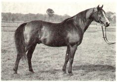 superior Polish flat racer Czort, unparalleled sire of race champions (both my boys trace back to Czort)