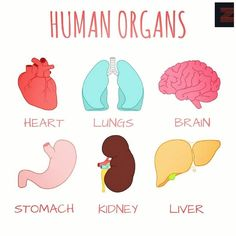 Vocabulary: Human Organs