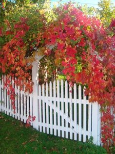 Garden gate w/ parthenocissus. I love this vine! It's all over England and such a stunning color