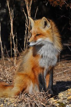 Red Fox by Ken C**