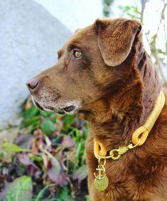 "𝑻𝒊𝒎𝒐 & 𝑴𝒊𝒍𝒐𝒘 on Instagram: ""#labrador #choclate #greyhair #oldie #labradorretriever #styria #spring #dogsofaustria #labradoroftheday #choclatlab #dogcollar #yellow…"" Labrador Retriever, Spring, Animals, Instagram, Pictures, Dog Accessories, Linen Fabric, Labrador Retrievers, Animales"