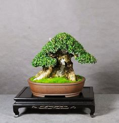 Generalizations Can Also Be Odious | Bonsai Bark