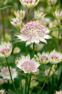 Astrantia 'Buckland' - 'Buckland' is a deciduous perennial growing to 90cm tall and has pale-pink flowers surrounded by white bracts tipped with green