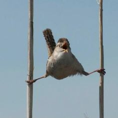 """CAPTION CALL! A wren perches at Bear River Migratory Bird Refuge in Utah, where the Bear River flows into the northeast arm of the Great Salt Lake. How should the caption read?   Photo: Lloyd Bush, 2nd place, animal behavior, Bear River Refuge photo contest 2011  And the winner of this week's caption call is.....""""Quit laughing and go get help!"""" Congrats to Susan Mandler Echelberger for posting it.  http://www.facebook.com/USFWSRefuges"""