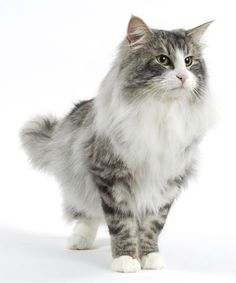 Norwegian Forest #cat. Show us your love for cats by entering the Royal Canin Pinterest contest here: on.fb.me/GBc597