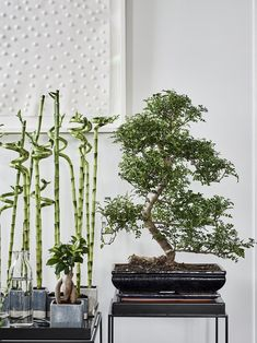 Lucky Bamboo: See Plant Care and Decorating Tips Bathroom Niche, Bathroom Plants, Indoor Trees, Indoor Plants, Ficus Ginseng, Mdf Furniture, Hanging Rope Shelves, Lucky Bamboo Plants, Different Plants