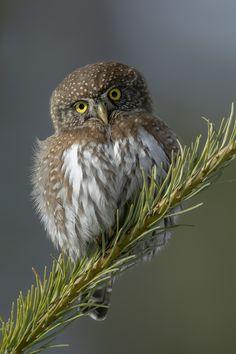 Tiny Raptor by Pam Mullins - Species: Northern Pygmy Owl | Location: British Columbia, Canada New York Zoo, Different Birds, Owl Bird, Bird Species, Wild Birds, Pictures To Paint, Beautiful Birds, Animal Pictures, Wildlife
