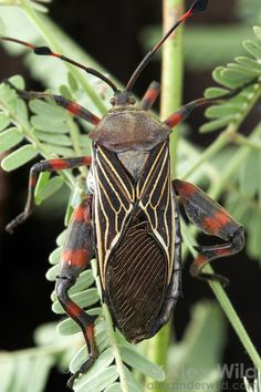 49 Best True Bugs And Relatives Images Insect Orders Scale