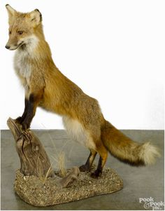 """Pook & Pook Sporting Sale 5/9/15 Lot 423.   Taxidermy full-body mount of a red fox on a decorative base, 34"""" h. Good condition. No apparent damages or repairs.  Provenance: From the estate of Rodney Ness-Ness Taxidermy, Seven Valleys, Pennsylvania. Estimated: $100 - $200.  Realized: $921."""