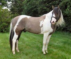 Paint Horse stallion Pepsi Poco Smoke
