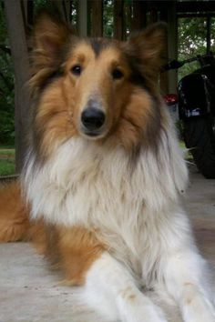 Image viaThe Shetland Sheepdog is related to the Rough Collie, both descended from Border Co Collie Puppies, Collie Dog, Dogs And Puppies, Doggies, I Love Dogs, Cute Dogs, Scotch Collie, Sweet Dogs, Rough Collie