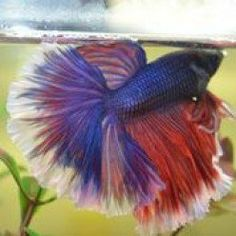fungus in bettas betta diseases pinterest betta betta fish