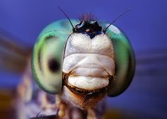 Blue Dasher (Pachydiplax longipennis) Dragonfly Face   Flickr ...