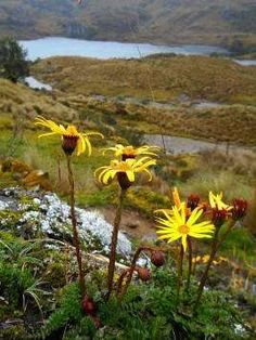 El Cajas National Park Tours: Yellow flowers with the Laguna Toreado in the background