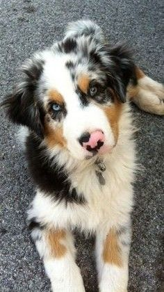 All the things we all adore about the Work-Oriented Australian Shepherd Dogs Cute Baby Dogs, Cute Dogs And Puppies, Doggies, Tiny Puppies, Adorable Dogs, Corgi Puppies, Teacup Puppies, Pomeranian Puppy, Mixed Breed Puppies