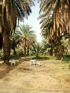 Beautiful date palm trees in Madina Brand Inspiration, Madina, Palm Trees, Country Roads, Mood, Photography, Beautiful, Palms, Photograph