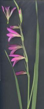 Gladiolus italicus Mill.