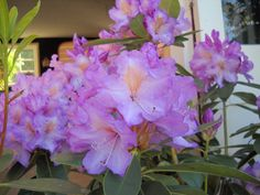 rhododendron Mrs J.P. Lade - Google Search