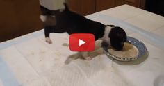 Watch this Boston Terrier Puppy Flipping into the Food Bowl! :) ► http://www.bterrier.com/?p=9623 - https://www.facebook.com/bterrierdogs