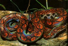 Stunning shot of a Rainbow Boa. Animals Of The World, Animals And Pets, Small Animals, Reptiles And Amphibians, Mammals, Brazilian Rainbow Boa, Red Tail Boa, Colorful Snakes, Boa Constrictor