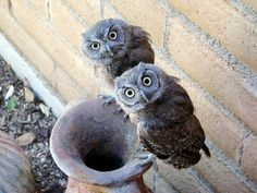 owl | Do you mind??? - Rafael J. Flores captured this photo of two owls ...
