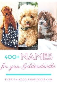 Need some help thinking of a name? Check out this comprehensive list of female and male doodle names! Goldendoodle Training, Doodle Name, Huge Teddy Bears, Dog Pin, Dog Memes, New Puppy, Pet Health, Pet Care, Laughter