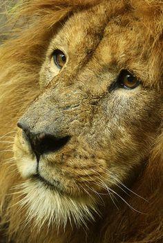 The Mighty Lion.  Leeuw - BurgersZoo by K.Verhulst