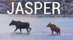 Mom and baby Moose go for a swim in Jasper National Park #outdoors #nature #sky #weather #hiking #camping #world #love https://youtu.be/kvfebO9xLuw