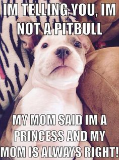 Pit Bull Puppies Funny Animal Pictures Of The Day - 26 Pics - Funny Animal Memes, Cute Funny Animals, Funny Animal Pictures, Funny Cute, Funny Dogs, Animal Pics, Funny Memes, Top Funny, Funniest Animals