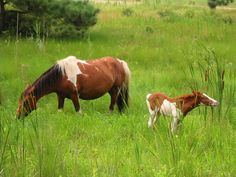 """Island Breeze and her splash foal sired by Surfer Dude. """"Splash"""" is a variety of pinto coloring."""