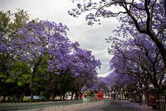 Jacaranda trees blossom, Lisboa   by ernst schade