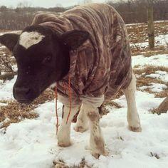 Farmer keeps his calf warm with a hoodie. [via]More Animals Wearing Hoodies