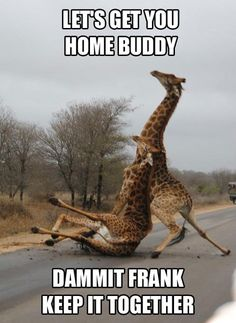 funny animals, frank, friends, laugh, funni, friday nights, homes, saturday night, giraffes