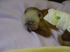 Looks kinda like the one i found my dad wont let me get. Cute Baby Monkey, Pet Monkey, Cute Baby Animals, Small Monkey, Marmoset Monkey, Little Monkeys, Love Pet, Cool Pets, Orangutan